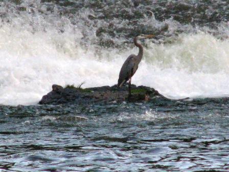 A blue heron at the falls.