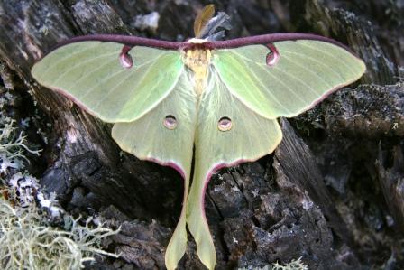 I LOVE luna moths:)