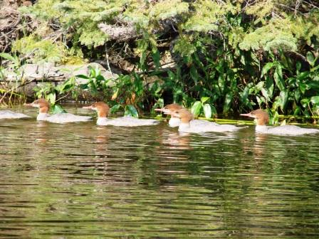 The mergansers really seem to flock up in the fall.