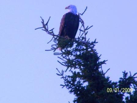 This eagle kept a watchful eye on Ron every morning.