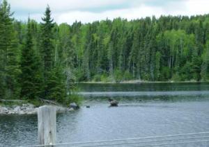 Anderson moose 1