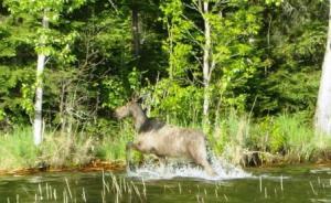 Anderson moose