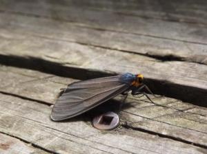 jesse bug