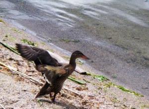 Chads duck takeoff