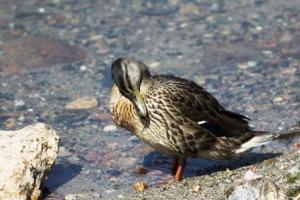 Duckpreening