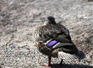Ducksleeping