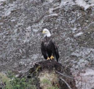 eagle sitting2