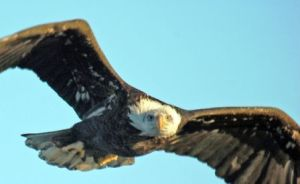 great eagle