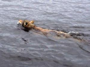 Wolf swimming