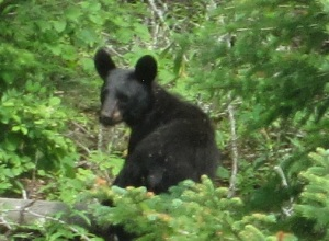 bobs bear cropped