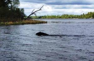swimming bear 1