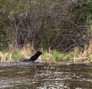 swimming bear 2