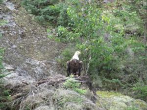 eaglelistening