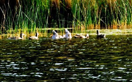 duckbutts